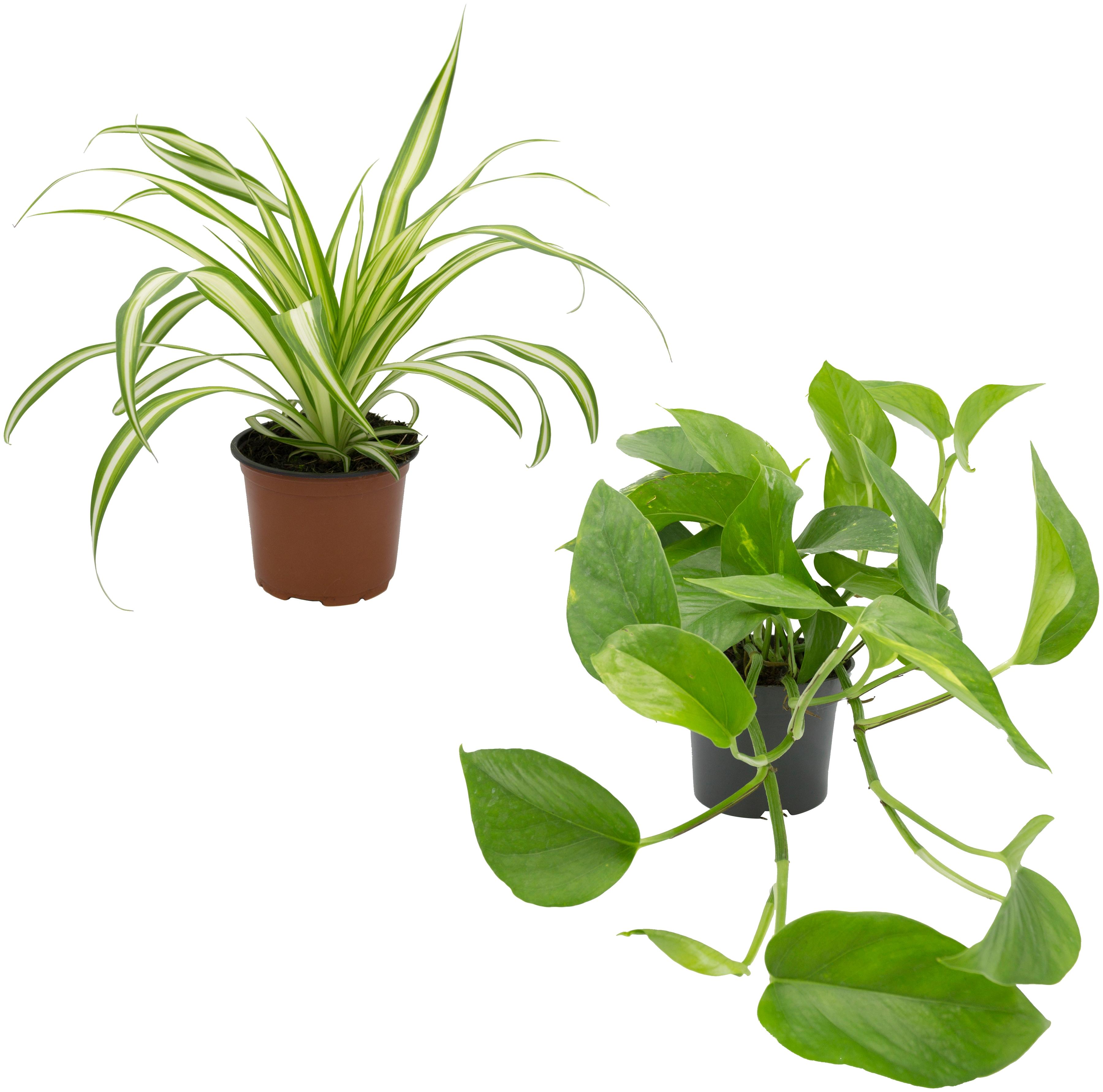 Dominik Zimmerpflanze Grünpflanzen-Set, Höhe: 30 cm, 2 Pflanzen grün Zimmerpflanzen Garten Balkon
