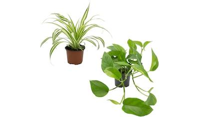 Dominik Zimmerpflanze »Grünpflanzen-Set«, Höhe: 30 cm, 2 Pflanzen kaufen