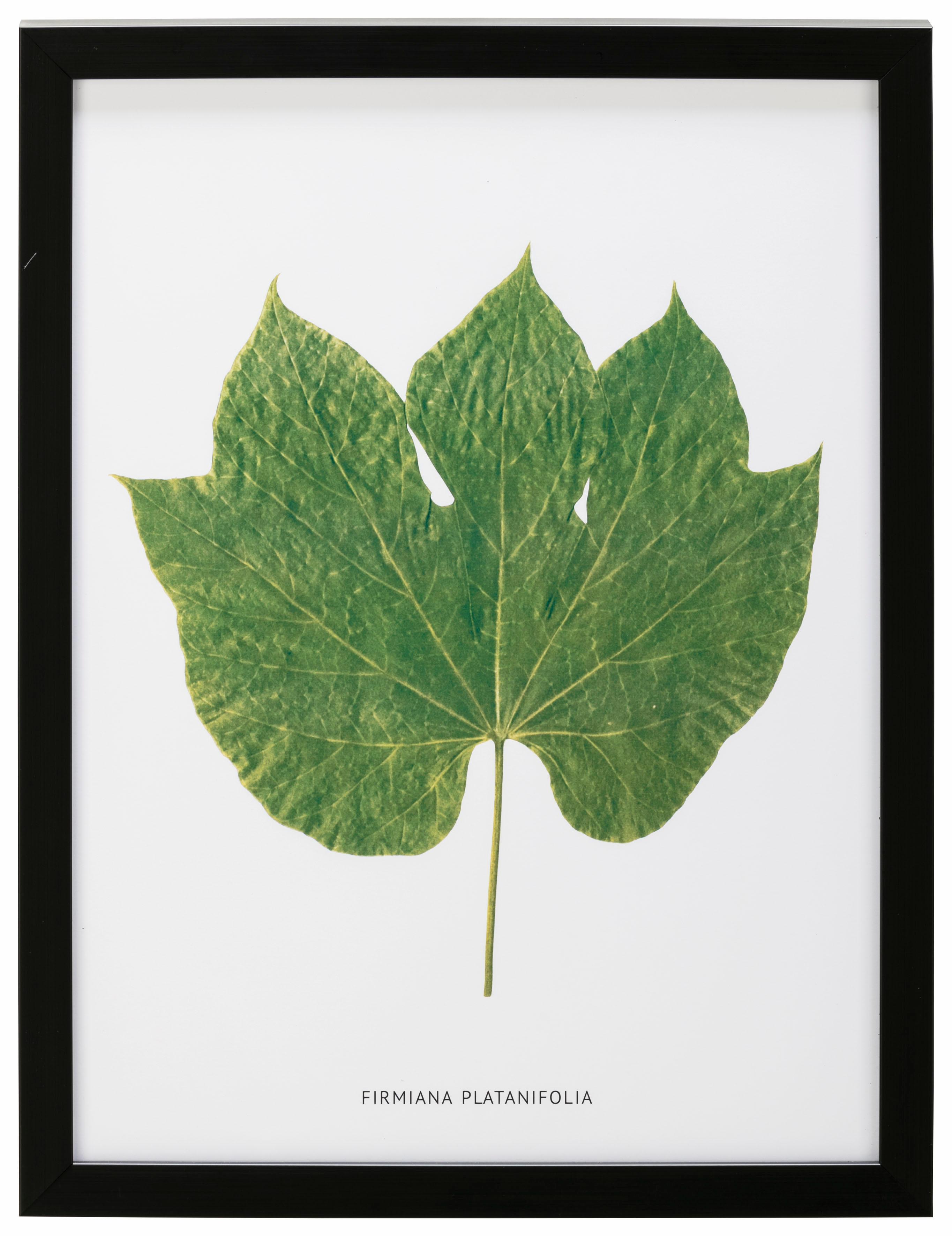 G&C Bild Blatt Firmiana Platanifolia Preisvergleich