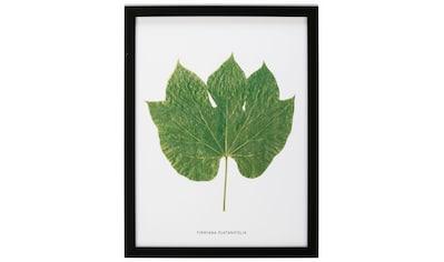 G&C Bild »Blatt Firmiana Platanifolia« kaufen