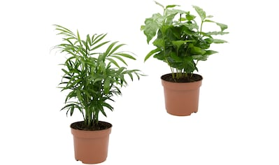 Dominik Zimmerpflanze »Palmen-Set«, Höhe: 30 cm, 2 Pflanzen kaufen