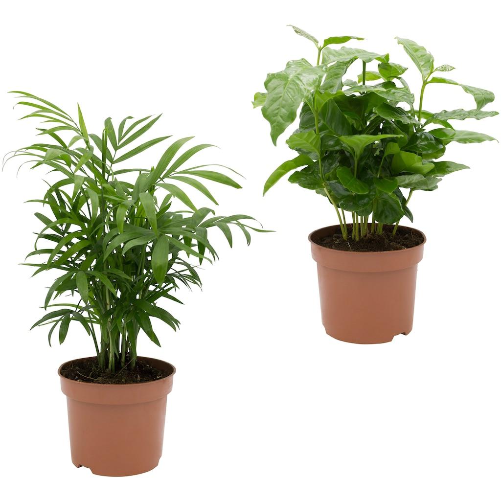 Dominik Zimmerpflanze »Palmen-Set«, Höhe: 30 cm, 2 Pflanzen