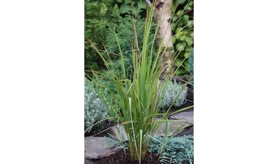 BCM Gräser »Reitgras brachytricha«, Lieferhöhe: ca. 40 cm, 2 Pflanzen kaufen