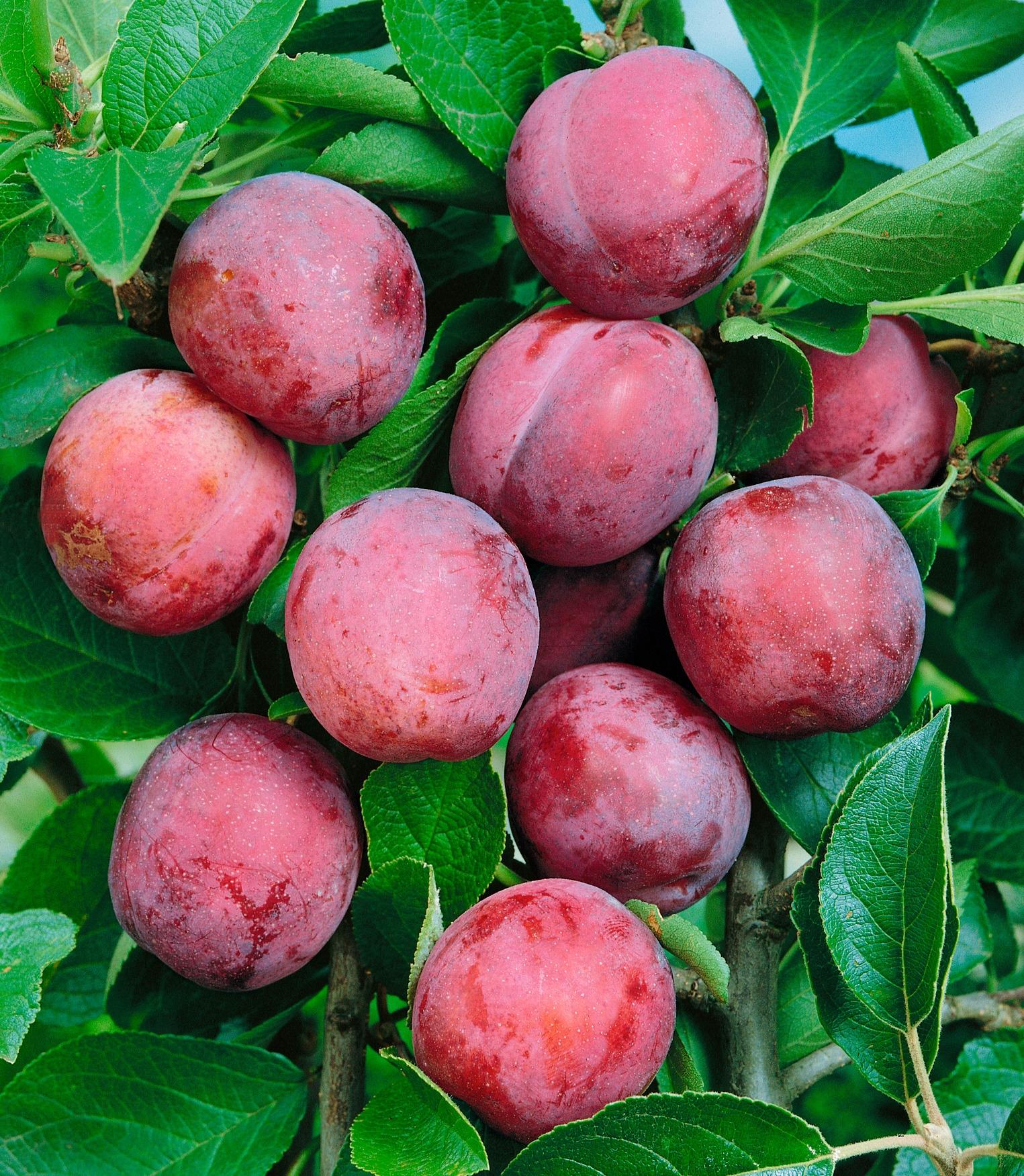 BCM Obstbaum Pflaume Viktoria rosa Obst Pflanzen Garten Balkon