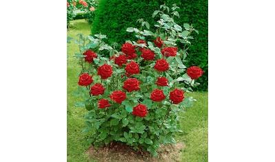 BCM Beetpflanze »Edelrose Ingrid Bergmann®« kaufen