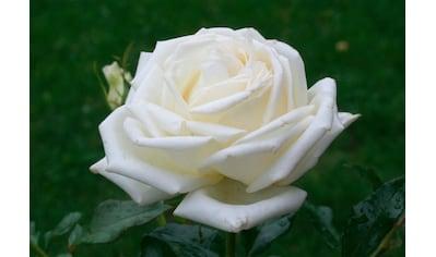 Edelrose »Karen Blixen®« kaufen