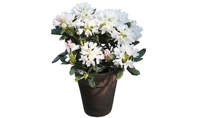 BCM Rhododendron »Cunninghams White«, Höhe: 40 cm, 2 Pflanzen kaufen