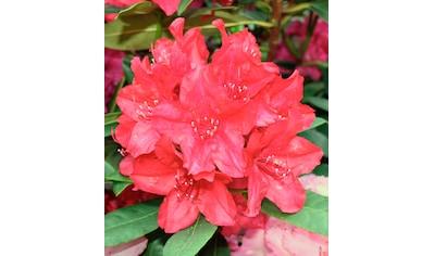 Rhododendron »Nova Zembla« kaufen