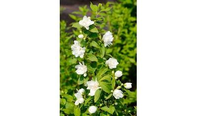 BCM Hecken »Duft Jasmin Girandole«, Höhe: 30-40 cm, 3 Pflanzen kaufen