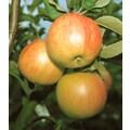 Säulenobst »Apfel Bolero«