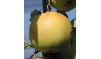 Obstbaum »Apfel Bella Bionda Patrizia« kaufen