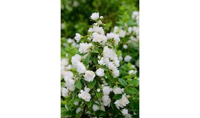 BCM Hecken »Duft Jasmin Snowbelle«, Höhe: 30-40 cm, 3 Pflanzen kaufen