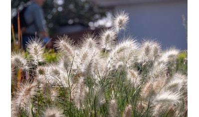 BCM Gräser »Lampenputzergras alopecuroides 'Pennstripe'«, Lieferhöhe ca. 40 cm, 1 Pflanze kaufen