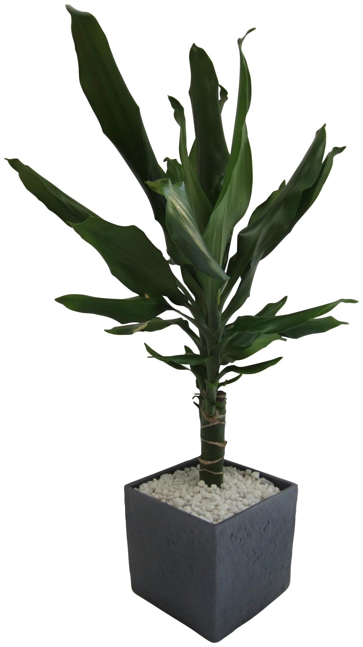 Dominik Zimmerpflanze Drazene, Höhe: 30 cm, 1 Pflanze im Dekotopf grün Pflanzen Garten Balkon