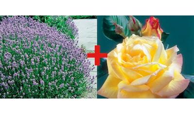 Set: Beetrose »Rose Peace & Lavendel« kaufen