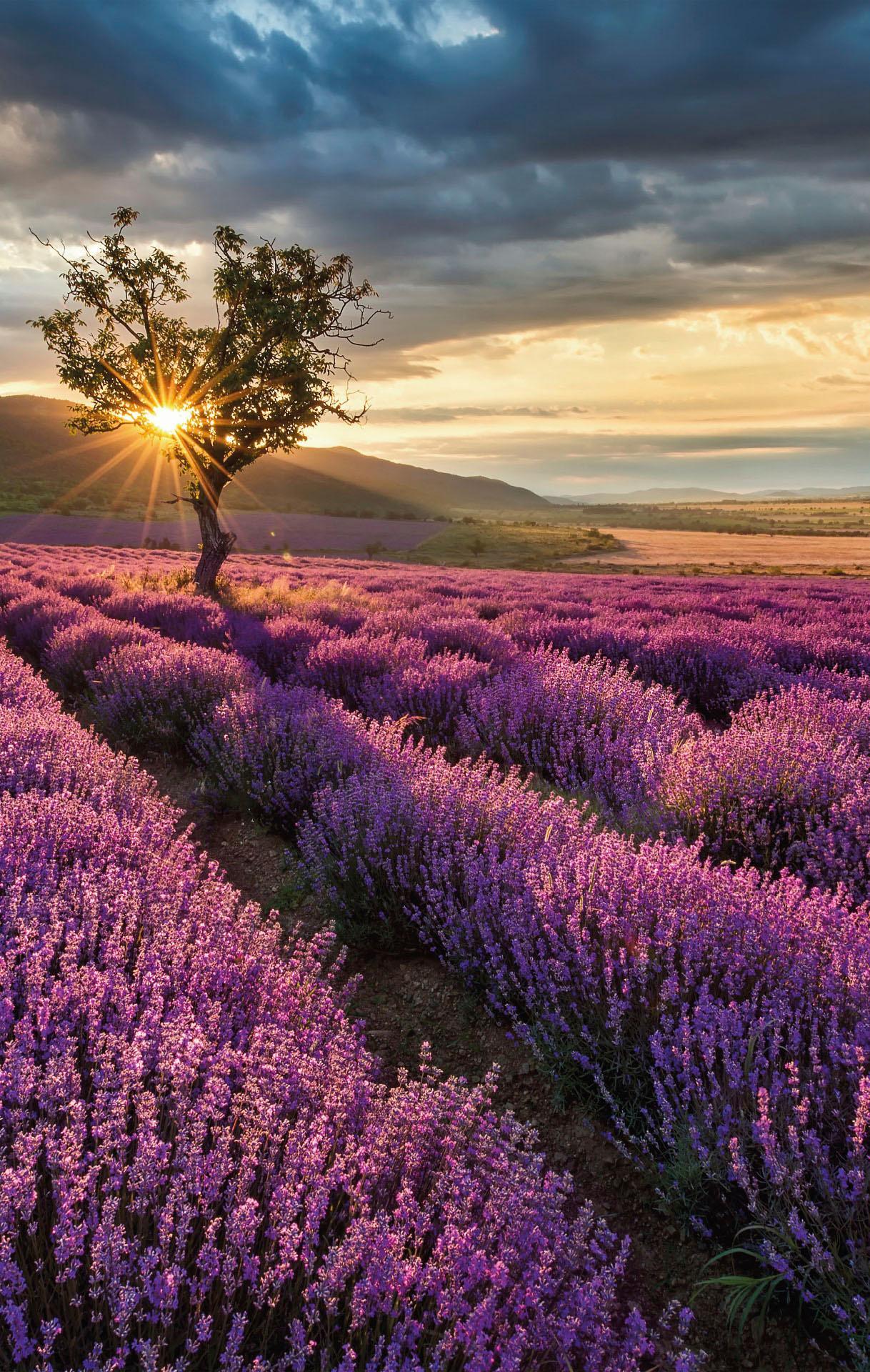 Vliestapete Lavendelblüte in der Provence bunt Fototapeten Tapeten Bauen Renovieren