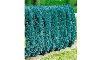 BCM Hecken »Blaue Scheinzypresse«, 2 Pflanzen kaufen
