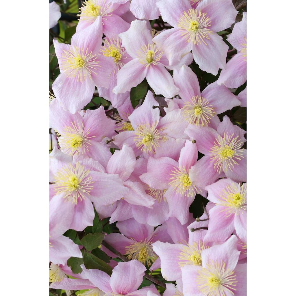 BCM Kletterpflanze »Waldrebe montana 'Mayleen'«, Lieferhöhe: ca. 60 cm, 1 Pflanze