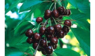 BCM Süßkirschenbaum »Regina«, 150 cm Lieferhöhe kaufen