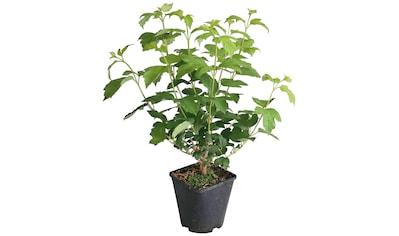 BCM Obstpflanze »Erdbeere«, Lieferhöhe ca. 40 cm, 1 Pflanze kaufen