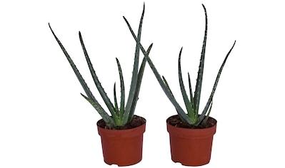 Dominik Zimmerpflanze »Echte Aloe«, Höhe: 15 cm, 2 Pflanzen kaufen