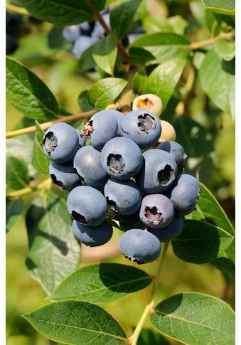 BCM Obstpflanze »Säulenobst Heidelbeere North Country«, Höhe: 50 cm, 2 Pflanzen kaufen