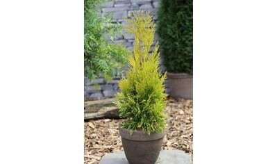 Hecke »Lebensbaum 4ever Goldy«, Höhe: 60 - 80 cm, 1 Pflanze kaufen