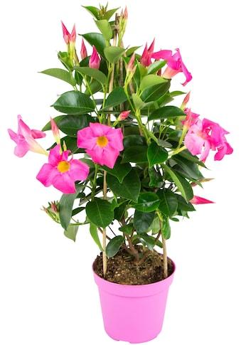 BCM Beetpflanze »Fuchsia Flame«, Höhe: 45 cm kaufen