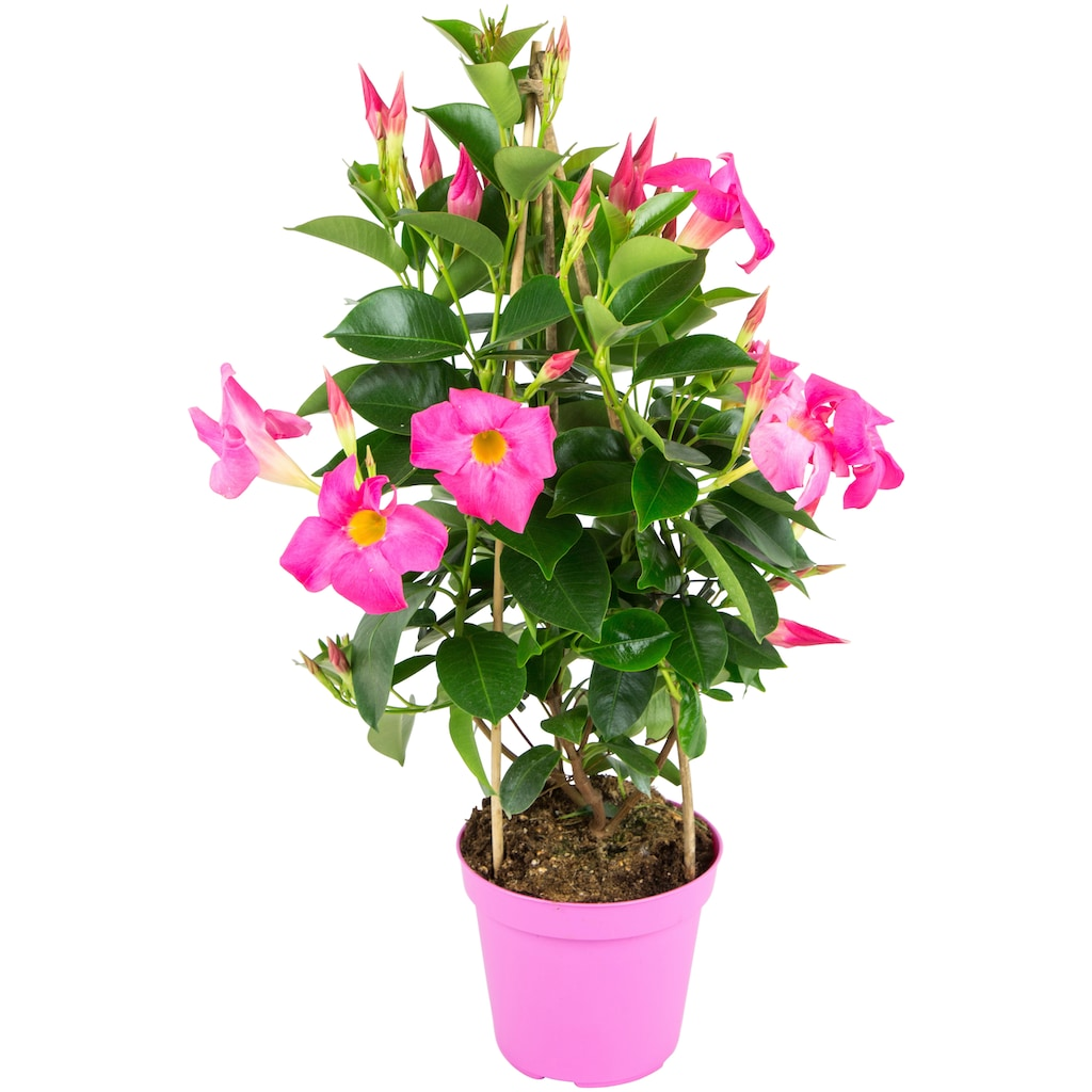 BCM Beetpflanze »Fuchsia Flame«, Höhe: 45 cm
