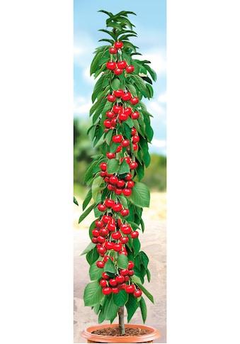 BCM Obstpflanze »Säulenobst Kirsche Siberia« kaufen