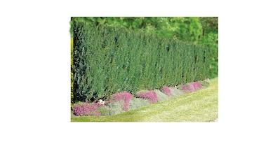 BCM Hecken »Lebensbaum Brabant« kaufen