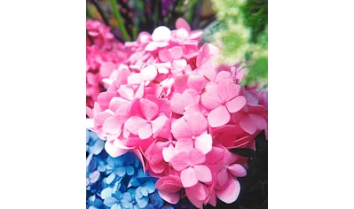 BCM Gehölze »Hortensie Endless Summer®«, rosa kaufen