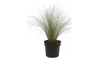 BCM Gräser »Stipa tenuissima Pony Tails«, Lieferhöhe: ca. 25 cm, 1 Pflanze kaufen