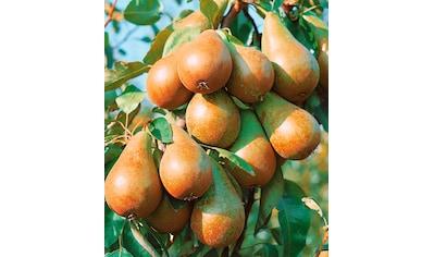 Obstbaum in U - Form »Birne« kaufen