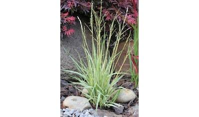BCM Gräser »Pfeifengras caerulea 'Variegata'«, Lieferhöhe ca. 40 cm, 1 Pflanze kaufen