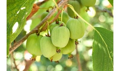 BCM Obstpflanze »Kiwi arguta«, (Spar-Set), Lieferhöhe: ca. 60 cm, 3 Pflanzen kaufen