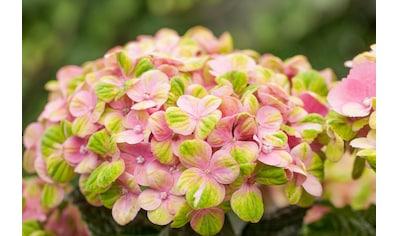 BCM Gehölze »Hortensie Magical Coral Pink«, Höhe: 30-40 cm, 2 Pflanze kaufen