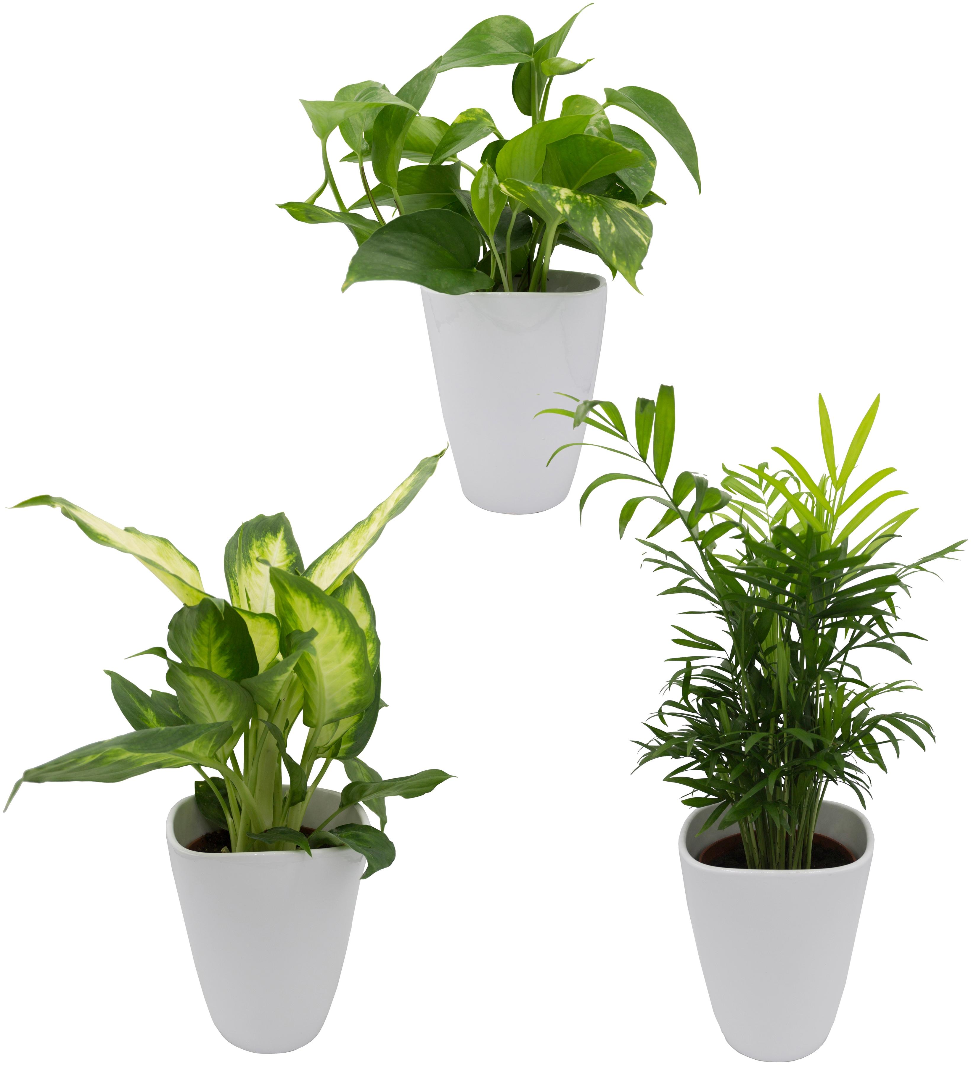 DOMINIK Zimmerpflanze »Palmen-Set«, Höhe: 30 cm, 3 Pflanzen in ...