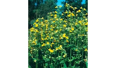 Set: Staudengewächs »Gauklerblumen« (3 Pfl.) kaufen