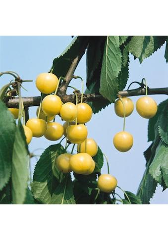 BCM Süßkirschenbaum »Dönissens Gelbe«, 100 cm Lieferhöhe kaufen