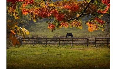 Papermoon Fototapete »Pferd auf der Weide«, Vliestapete, hochwertiger Digitaldruck kaufen