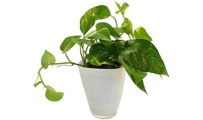 DOMINIK Zimmerpflanze »Efeutute«, Höhe: 30 cm, 1 Pflanze im Dekotopf kaufen