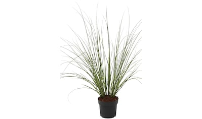 BCM Gräser »Pampasgras selloana 'Citaro'«, (Spar-Set), Lieferhöhe ca. 60 cm, 2 Pflanzen kaufen