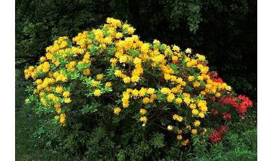 BCM Hecken »Rhododendron Azalee Pontica« kaufen
