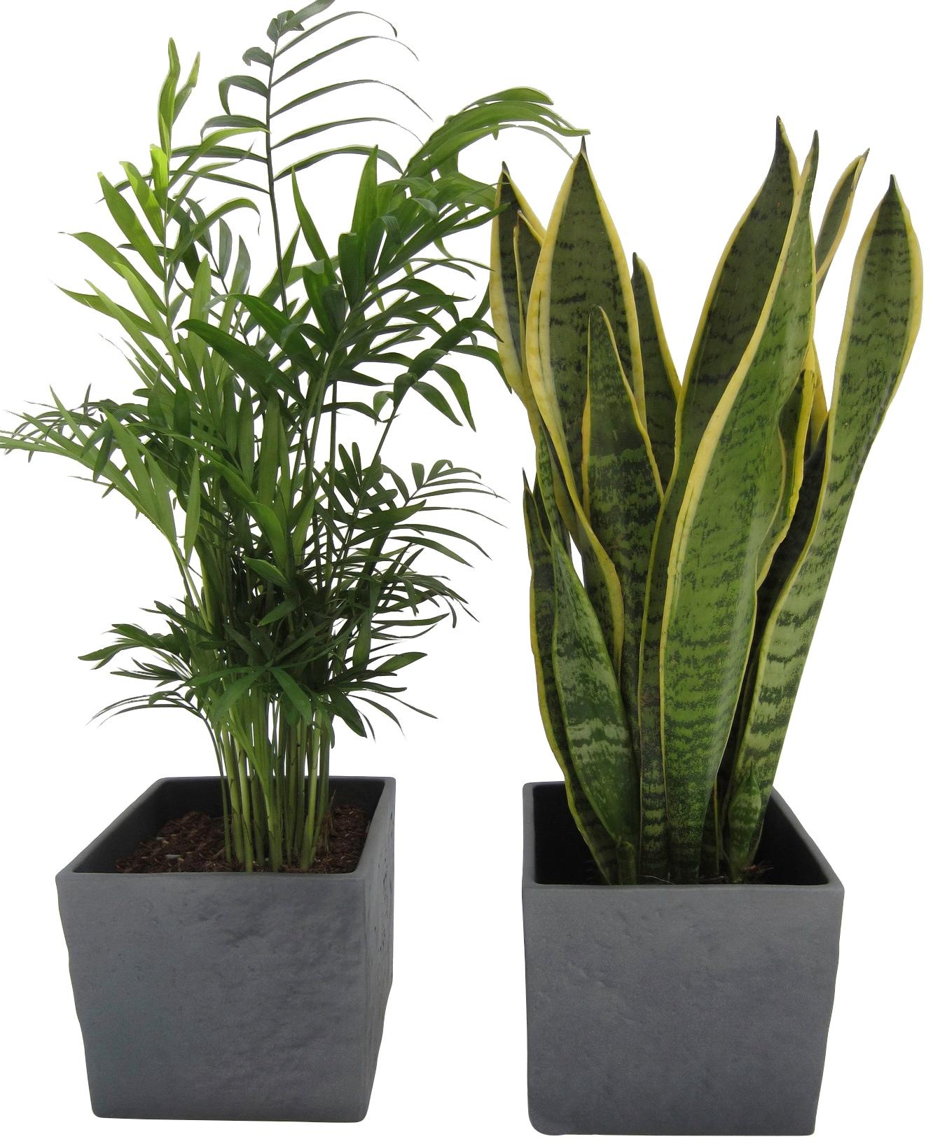 Dominik Zimmerpflanze Palmen-Set, Höhe: 30 cm, 2 Pflanzen in Dekotöpfen grün Zimmerpflanzen Garten Balkon