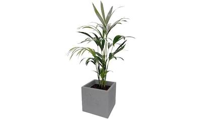 DOMINIK Zimmerpflanze »Kentia - Palme«, Höhe: 60 cm, 1 Pflanze im Dekotopf kaufen