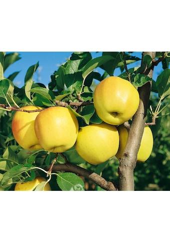 BCM Obstpflanze »Golden Delicious Apfel«, 100 cm Lieferhöhe kaufen