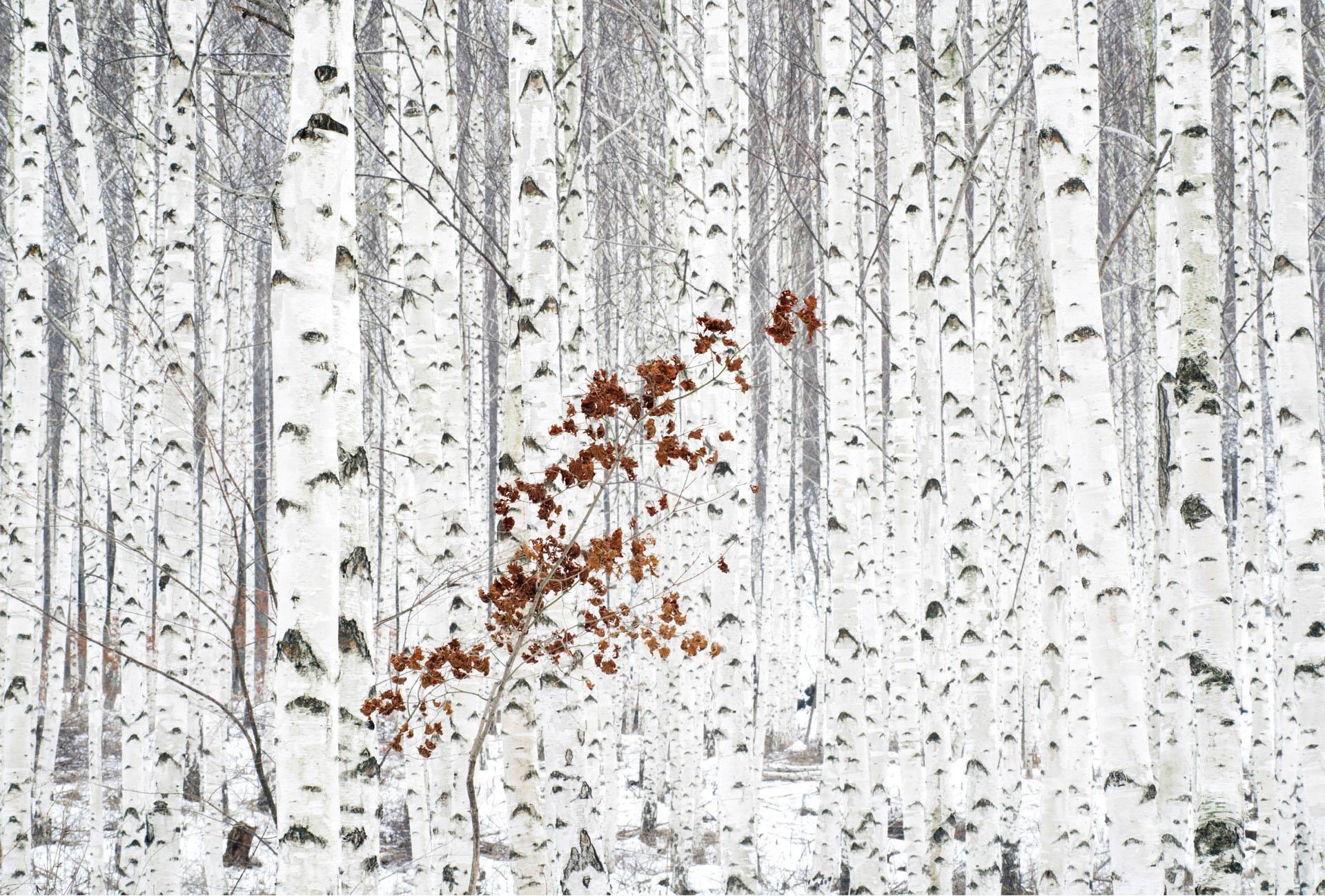 Vliestapete Han - Birkenwald weiß Fototapeten Tapeten Bauen Renovieren