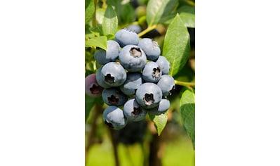BCM Obstpflanze »Säulenobst Heidelbeere Duke«, Höhe: 50 cm, 1 Pflanze kaufen