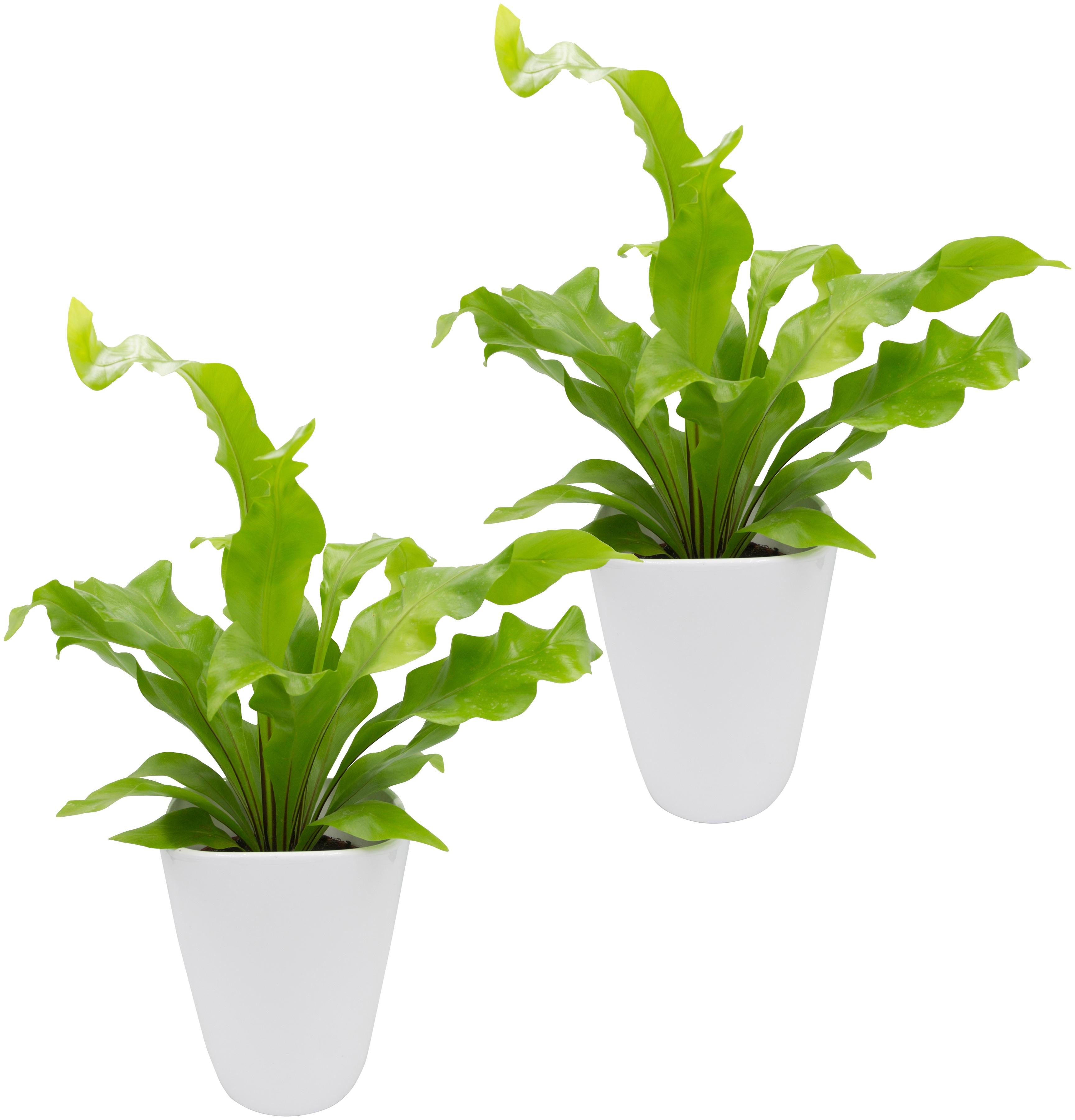 Dominik Zimmerpflanze Farnpflanzen, Höhe: 15 cm, 2 Pflanzen in Dekotöpfen grün Zimmerpflanzen Garten Balkon